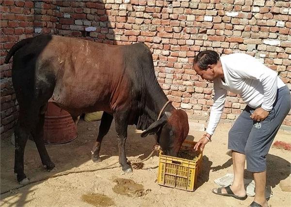 sirsa bull eat gold jewelry