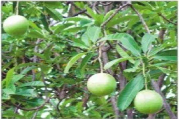 dangerous odorloom tree