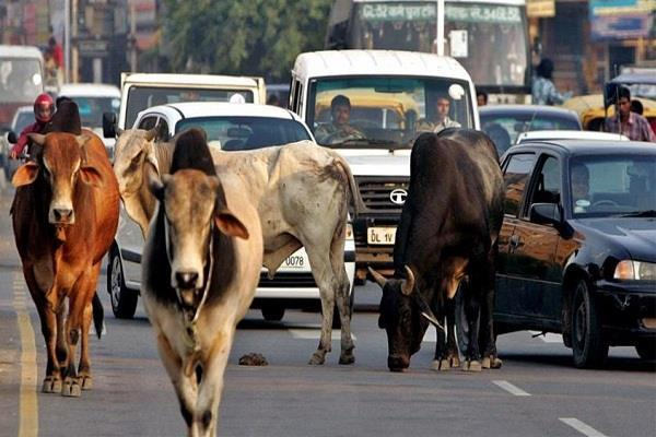 u  p  bjp may be costlier in   trouble of stray cattle