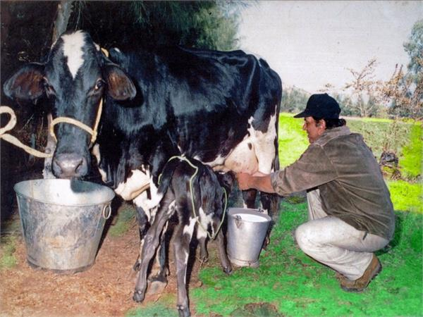 bollywood actor dharmendra milking cow photo viral