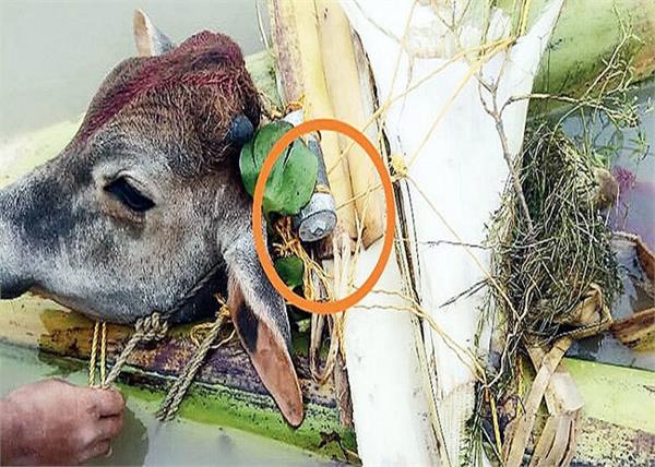animals bomb bangladesh smuggling