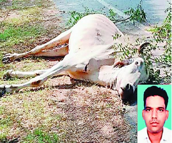 stray cattle  young  death