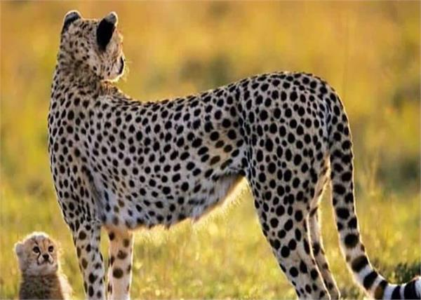 indian cheetah to be brought from namibia to cheetah
