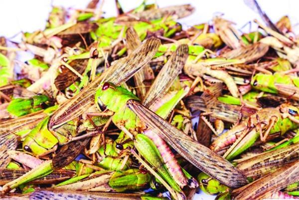 bathinda  department of agriculture  tiddi dal  alert