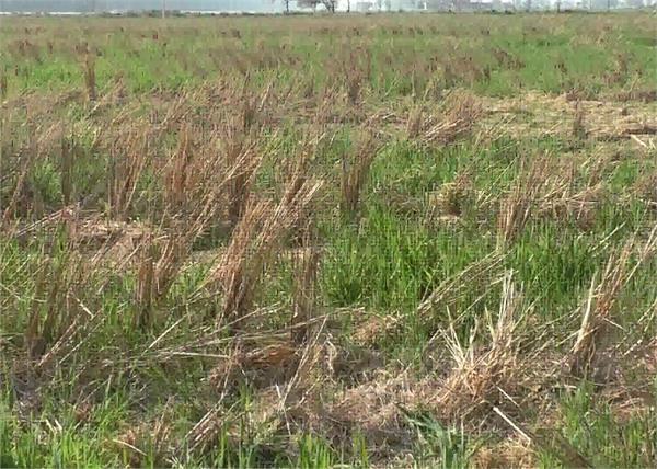 talwandi sabo  farmer harbhajan singh  wheat  crops sundi