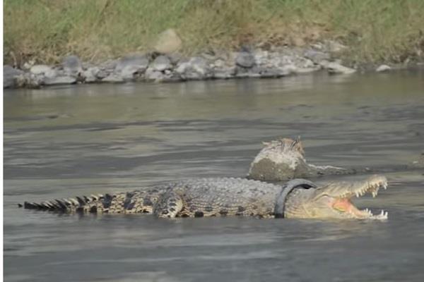 indonesia crocodile neck stuck in tyre