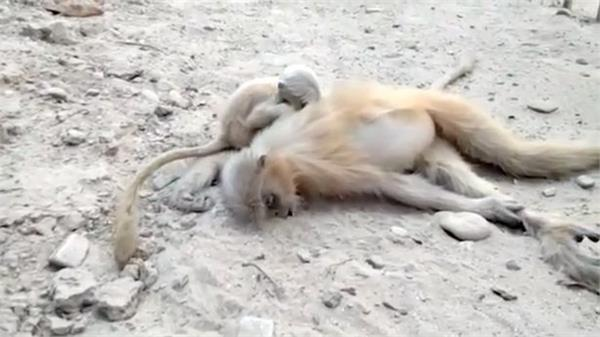 grieving baby monkey tries to wake dead mum