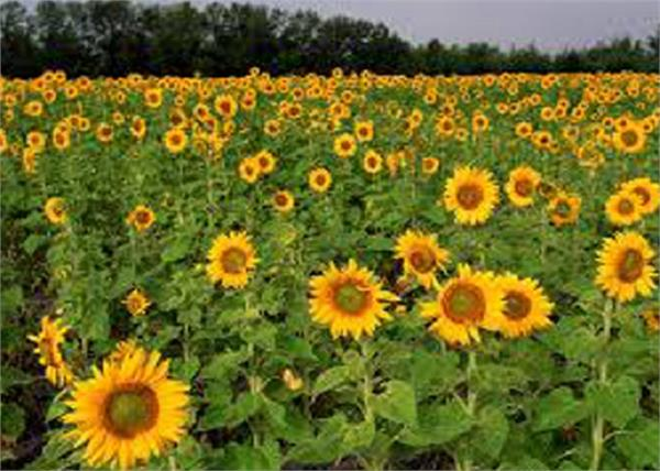 coronavirus   flower farming in haryana